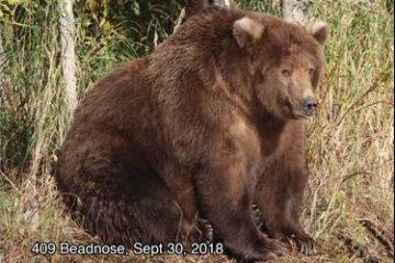 fattest bear 2018